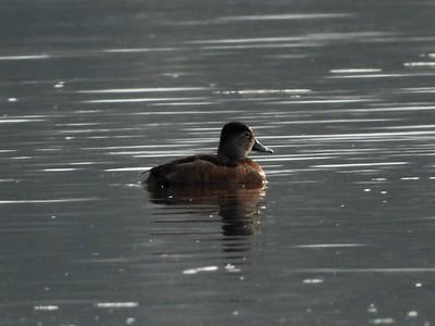 Ring-necked Duck - female