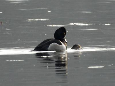 Ring-necked Duck - mating