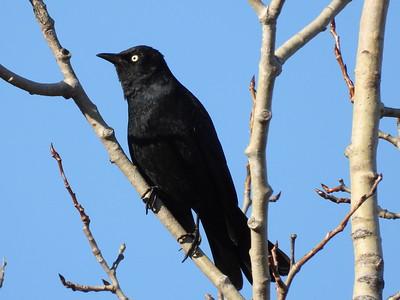 Rusty Blackbird - breeding male