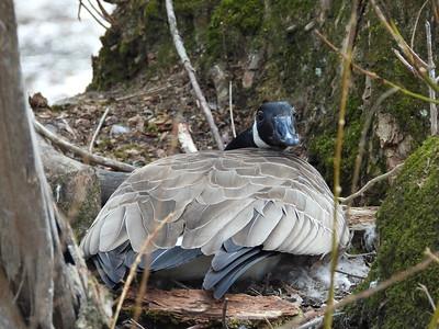 Canada Goose - on nest