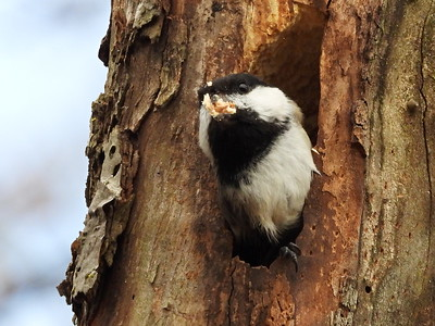 Black-capped Chickadee - nest building