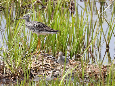 Greater Yellowlegs (L) & Lesser Yellowlegs (R)