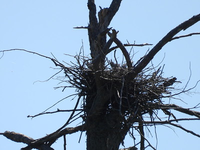 Bird nest near top of tree