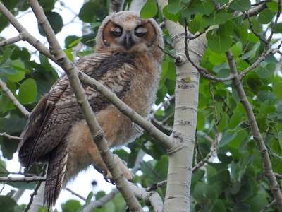 Great Horned Owl - juvenile