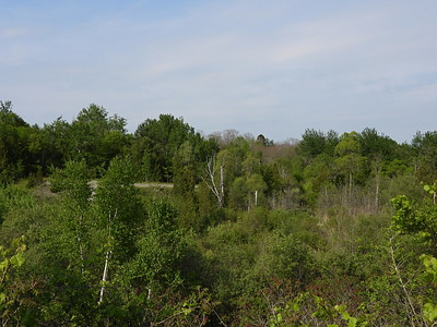 View across valley to dead Birch trees with flock of Cedar Waxwings nearby