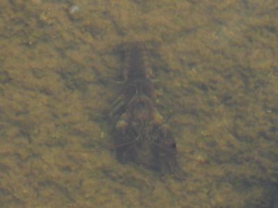 Northern Clearwater Crayfish (Faxonius propinquus)