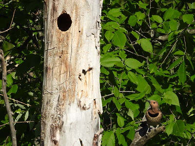 Northern Flicker (female) - tree cavity nest