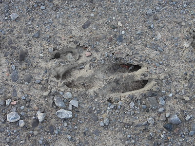 White-tailed Deer - tracks