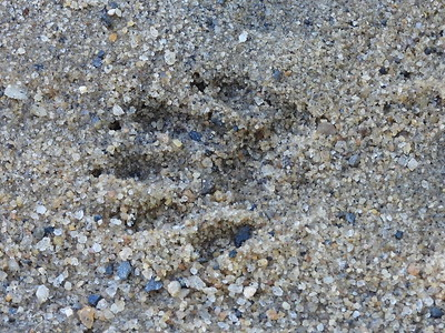 Raccoon - track