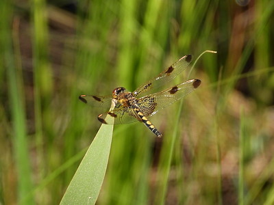 Calico Pennant (Celithemis elisa) - female or immature male