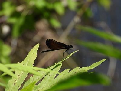 Ebony Jewelwing (Calopteryx maculata) - female