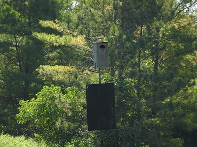Wood Duck nest box being used by Common Grackle