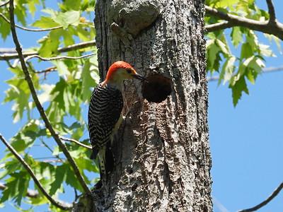 Red-bellied Woodpecker - adult male feeding nestling