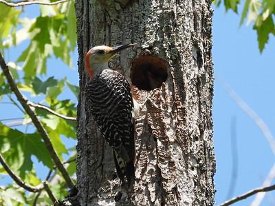 Red-bellied Woodpecker - adult female feeding nestling