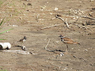 Killdeer - adult with two of the three juveniles