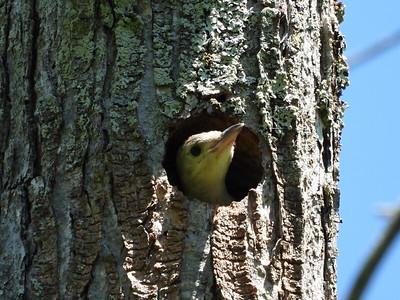 Red-bellied Woodpecker - nestling