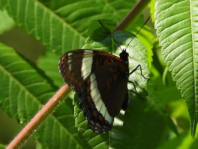 White Admiral (Limenitis arthemis ssp. arthemis) - also known as American White Admiral on iNaturalist
