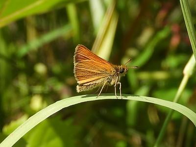 Essex Skipper (Thymelicus lineola) - also known as European Skipper