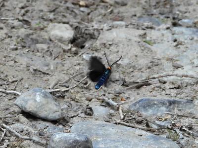 Virginia Ctenucha Moth (Ctenucha virginica)