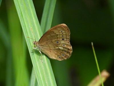 Eyed Brown (Lethe eurydice)