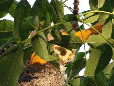 Baltimore Oriole - nest