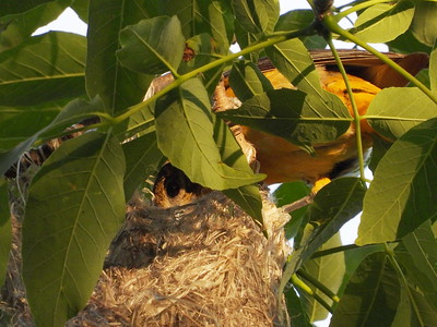 Baltimore Oriole - nest