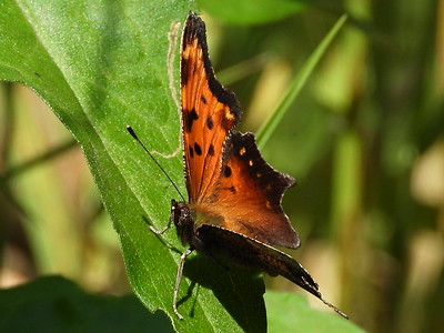 Gray Comma (Polygonia progne)