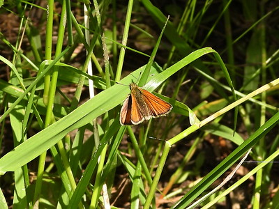 Essex Skipper (Thymelicus lineola) - also known as European Skipper