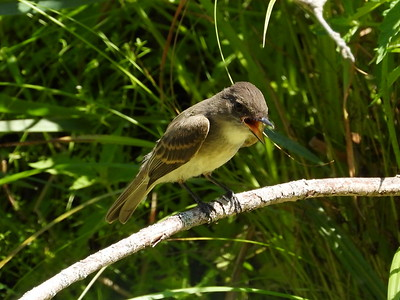 Flycatcher sp?