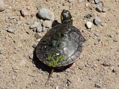 "Midland Painted Turtle - juvenile (about 2"" long)"