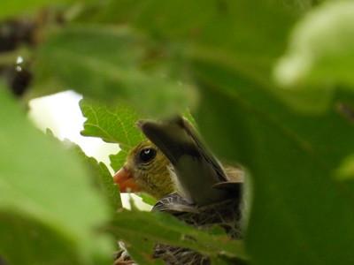 American Goldfinch - nest