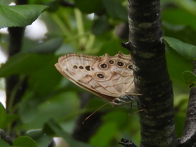 Northern Pearly-Eye (Lethe anthedon)