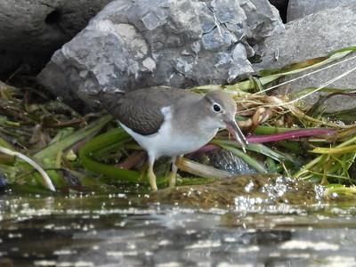 Spotted Sandpiper - juvenile