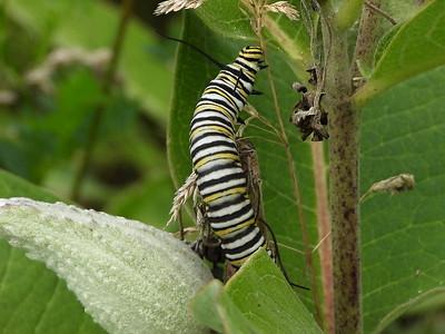 Monarch - larva