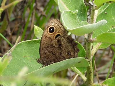 Common Wood-Nymph