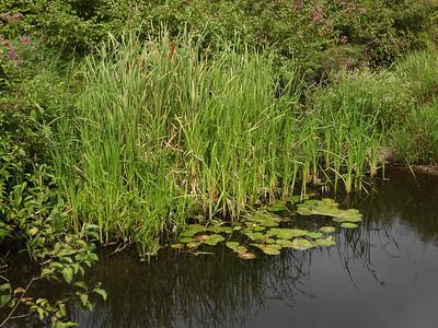 Grass-leaved Arrowhead (Sagittaria graminea)
