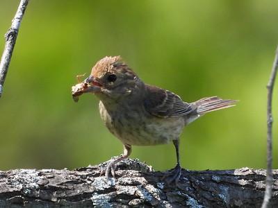 Sparrow sp?