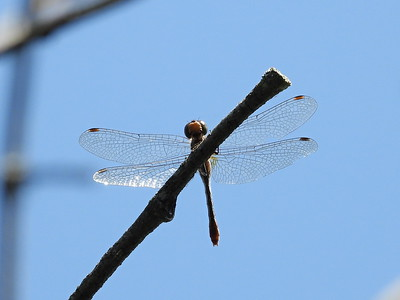 Dragonfly sp?