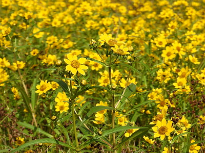Larger Bur-Marigold (Bidens laevis)