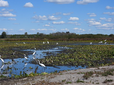 Cranberry Marsh with large numbers of Great Egret, Great Blue Heron and other bird species