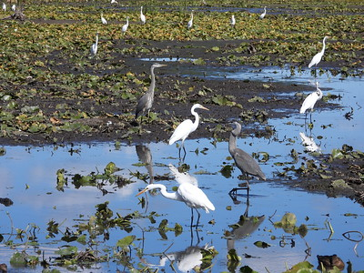 Great Egret and Great Blue Heron