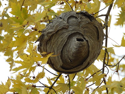Paper 'wasp' nest - likley made by Bald-faced Hornet