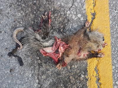 Virginia Opossum - road kill