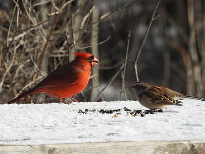 Northern Cardinal (& American Tree Sparrow)