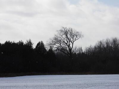 Wild Turkey flock roosting in tree