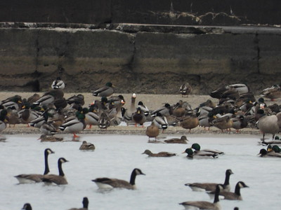 Greater White-fronted Goose (centre), Canada Goose and Mallard