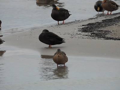 Female Mallard in foreground compared to American Black Duck seen just behind