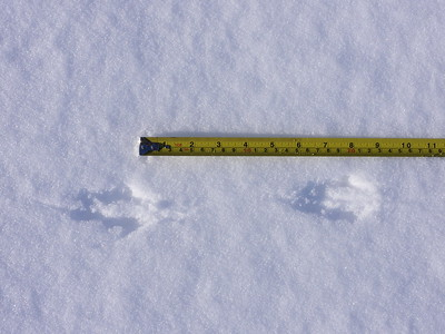 White-footed Mouse - tracks