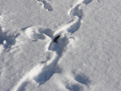 Canada Goose - tracks and trail (& scat)