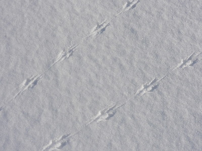 White-footed Mouse - tracks and trails